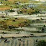 buffalo from the sky in siem reap cambodia