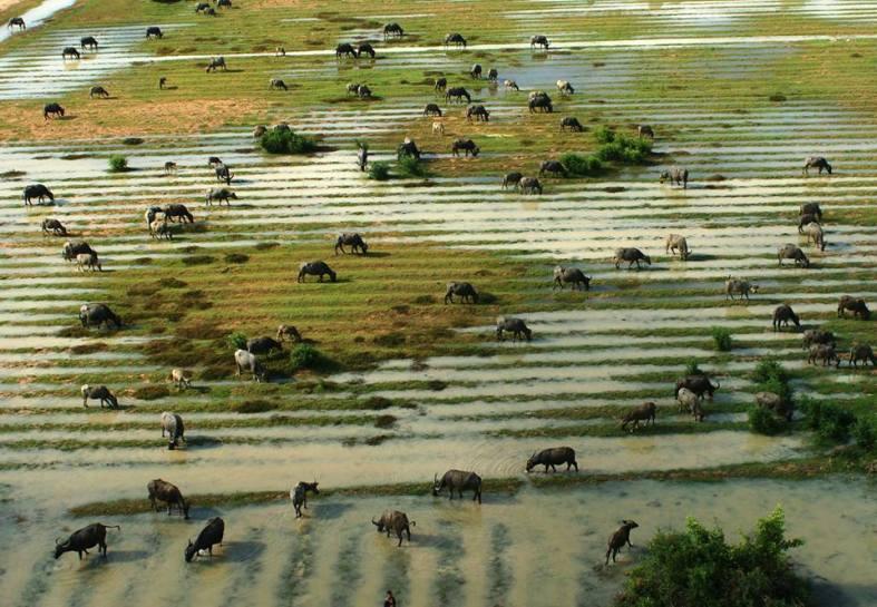 buffalo from the sky in siem reap cambodia